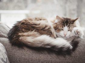 Kedilerde Tüy Dökülmesi Neden Olur?