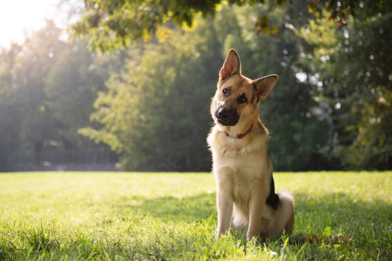 German Shepherd (Alman Kurdu) Köpek Cinsi
