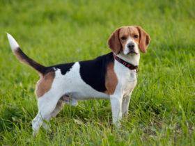 Beagle Köpek Cinsi