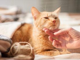 Kediler Boyunlarından Sevilmekten Neden Hoşlanır?