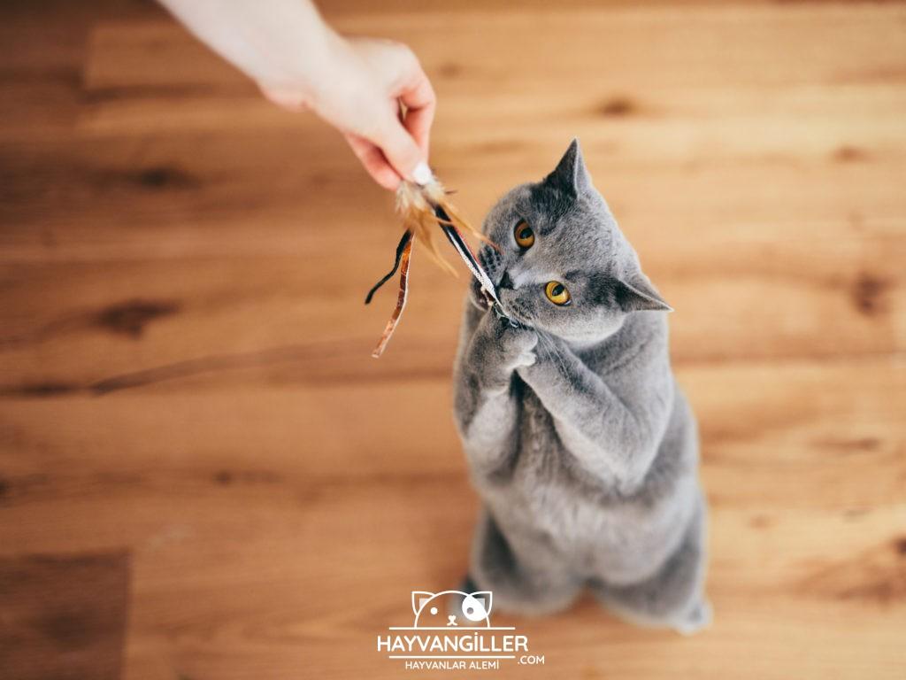 British Shorthair Kedi Cinsi