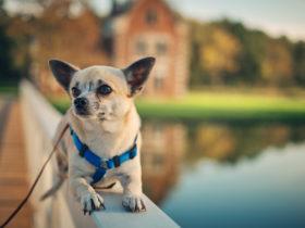 Chihuahua Köpek Cinsi