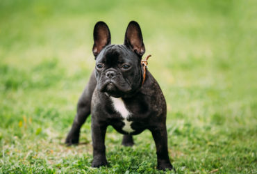 Fransız Bulldog Köpek Cinsi