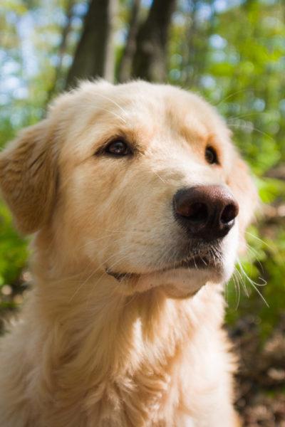 Golden Retriever Köpek Cinsi
