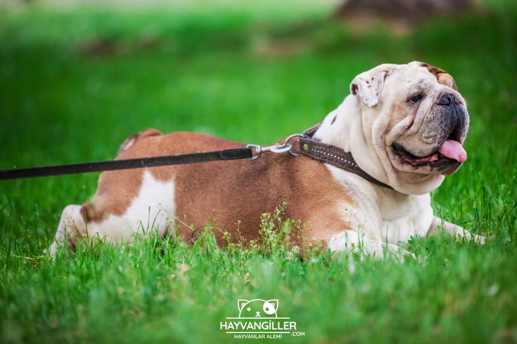 Bulldog Köpek Cinsi