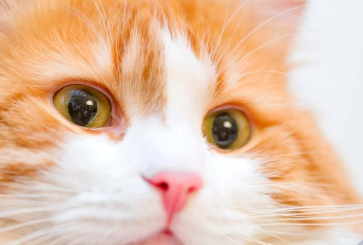 Kedilerde Göz Sulanması Neden Olur, Nasıl Geçer?