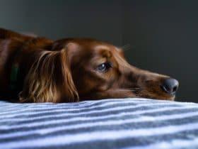 Köpeklerde İshal ve Kusmaya Ne İyi Gelir?