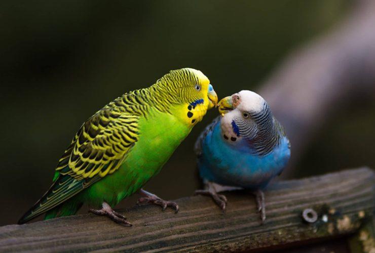 Muhabbet Kuşu Neden Yumurtlamaz?