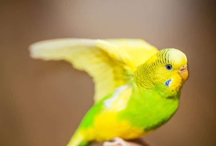 Muhabbet Kuşu Neden Isırır?