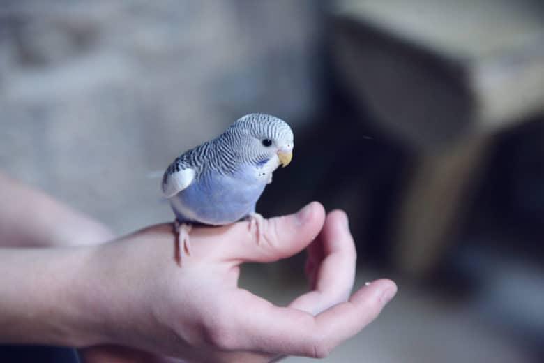 Muhabbet Kuşu Ele Nasıl Alıştırılır?