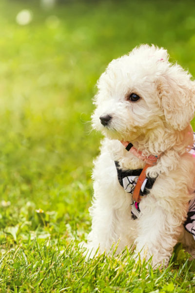 Poodle (Kaniş) Köpek Cinsi