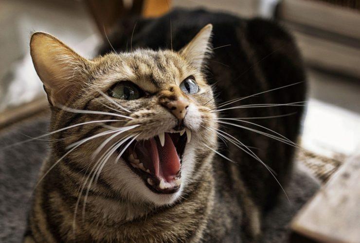 Kedilerde Huysuzluk Neden Olur? Nasıl Geçer?