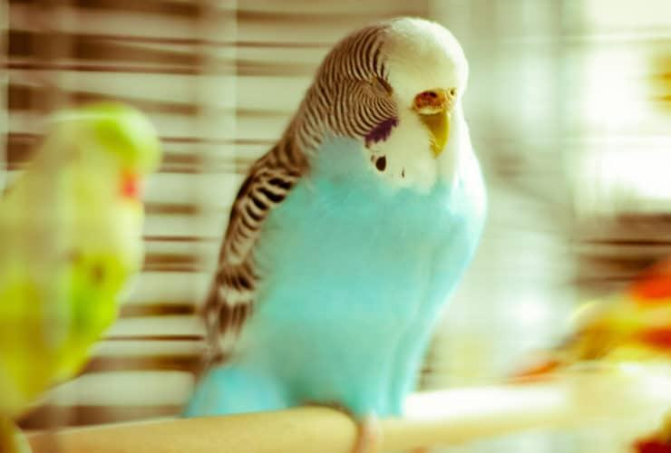 Muhabbet Kuşu Titriyor ve Uyuyor, Ne Yapılmalı?