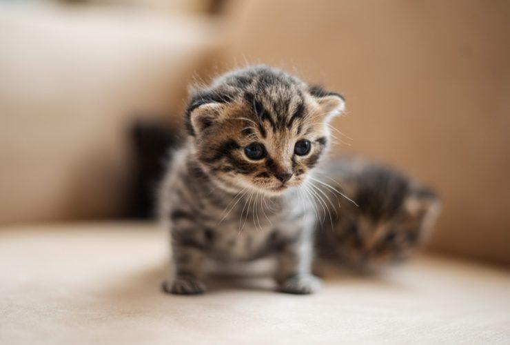 Kedi Gribi İnsana Bulaşır Mı?