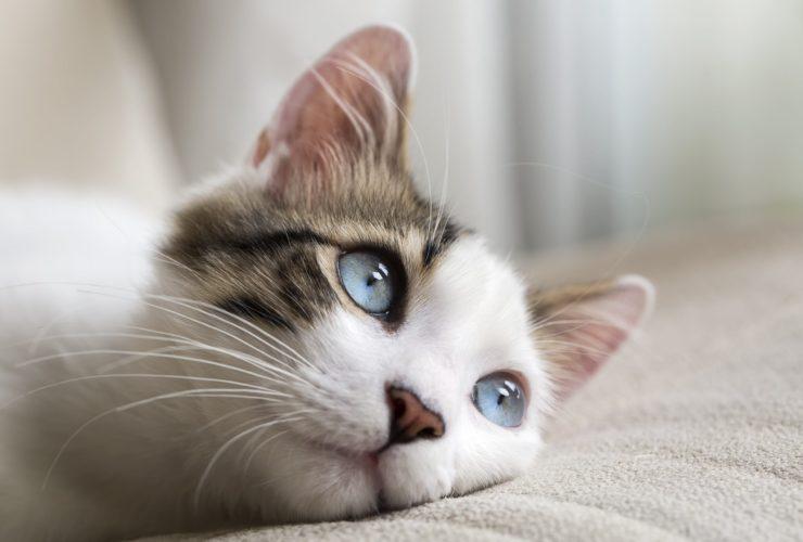 Kedinin Burnunun Siyahlaşması Ne Anlama Gelir?