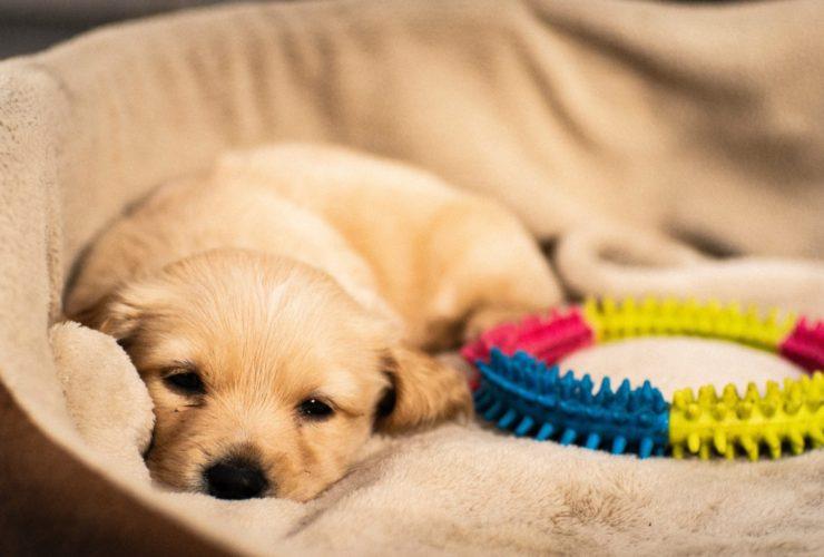 Yavru Köpek Halsiz ve Yemek Yemiyor, Ne Yapılmalı?