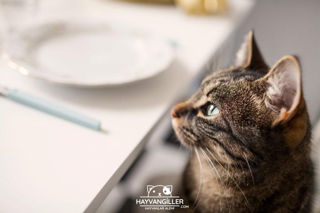 Kedilere Ev Yemeği Verilir Mi? Hangi Yemekler Verilebilir?
