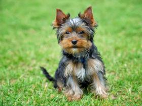 Yorkshire Terrier Köpek Cinsi